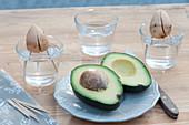 Avocado - Bäumchen selber ziehen