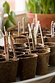 Aussaat in Torftöpfen, mit Holzsteckern etikettiert