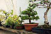 Freiland Bonsai aus winterharten Gehölzen