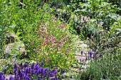 Gartenweg mit Lavendel, Ziersalbei und Marokkanischem Leinkraut (Linaria maroccana) bepflanzt