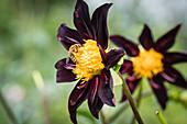 Wildbiene auf Dahlienblüte (Honka black)