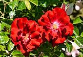 Rose (Rosa 'Mainau Feuer')