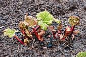 Rhubarb x hybridum 'Timperley Early' (Rhuem sp.)