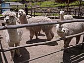 Alpaca farm, Peru