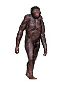 Australopithecus africanus, illustration