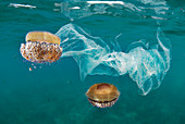Mediterranean jellyfish and plastic bags