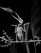 Kingfisher feeding, X-ray