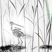 Snipe in marsh, X-ray