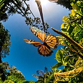 Monarch butterfly, high-speed fish-eye lens image