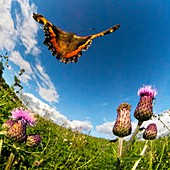 Tortoiseshell butterfly, high-speed fish-eye lens image