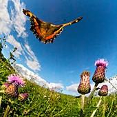 Tortoiseshell butterfly, high-speed fish-eye lens image