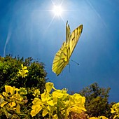 Green-veined White butterfly, high-speed fish-eye lens image