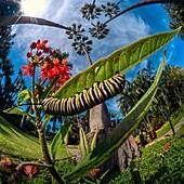 Monarch caterpillar, high-speed fish-eye lens image