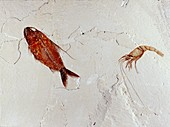 Fossil fish and shrimp