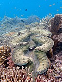 Giant clams on reef, Indonesia