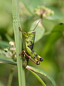 Grasshopper on blade of grass, Indonesia
