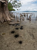 Mangroves and sea urchins, Indonesia