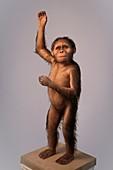 Australopithecus afarensis model