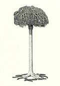 Lepidodendron prehistoric tree, illustration