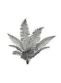 Renaultia prehistoric fern, illustration