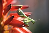 Praying mantis on aloe flower