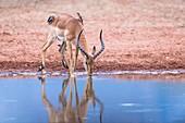 Impala ram drinking from a waterhole