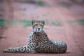 Collared cheetah