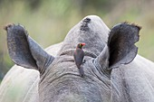 Red-billed oxpecker on rhino