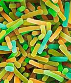 Lactobacillus bulgaricus yogurt bacterium, SEM
