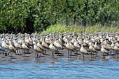 Marbled godwits flocking on a beach