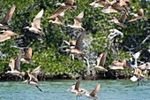 Marbled godwits in flight over a beach