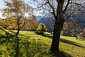 Chestnut trees in Switzerland