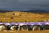 Winter cattle feed