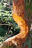 Tree gnawed by European beaver