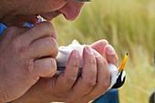 Sexing a little tern