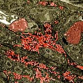 Ebola virus particles in infected tissue, TEM
