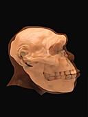 Homo georgicus skull and head, illustration