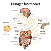 Appetite and hunger hormones, illustration