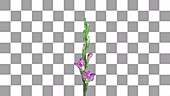 Pink gladiolus opening, timelapse