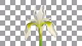 Iris opening, timelapse