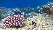 Hard corals with reef fish