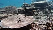 Coral in Indian Ocean