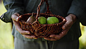 Hands holding a basket of green pears