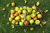 Apples in a wire basket in a meadow