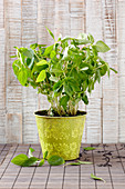 Fresh Thai basil in a pot