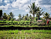 Balinese farmers ploughing rice paddies with a motorised plough