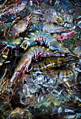 A close up of raw brightly colored tiger prawns at a market in Bali