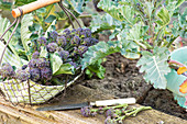 Frisch geernteter, violetter Sprossen-Brokkoli in einem Sieb am Hochbeet
