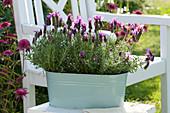Schopf-Lavendel 'Otto Quast' in Blech-Jardiniere