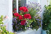 Blau und rot bepflanzter Balkonkasten am Fenster